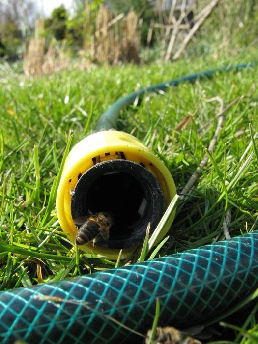 Eine durstige Biene