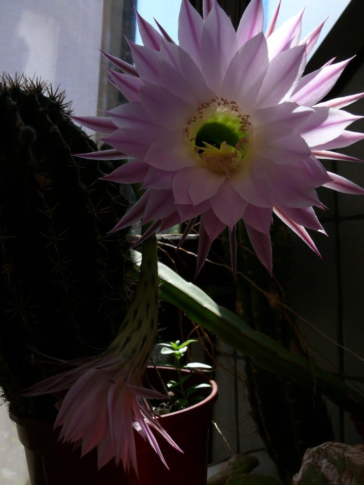 Eine Echinopsis decaisneana ?