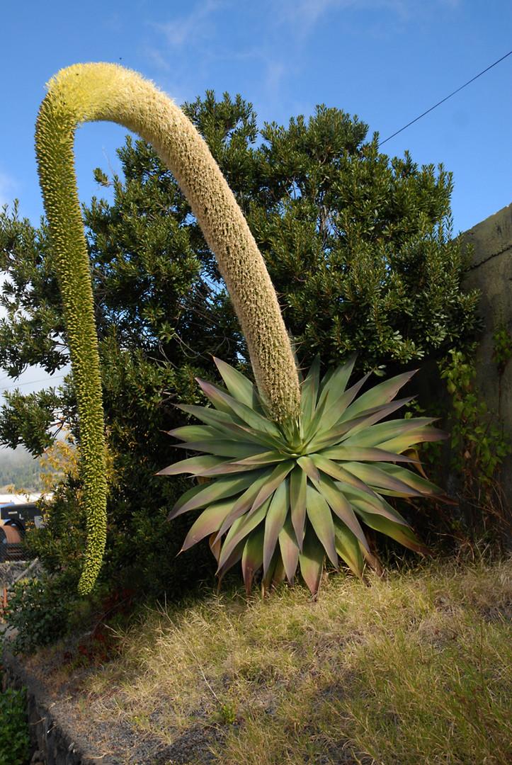eine eindrucksvolle bl tenpflanze die drachenbaum agave foto bild pflanzen pilze. Black Bedroom Furniture Sets. Home Design Ideas
