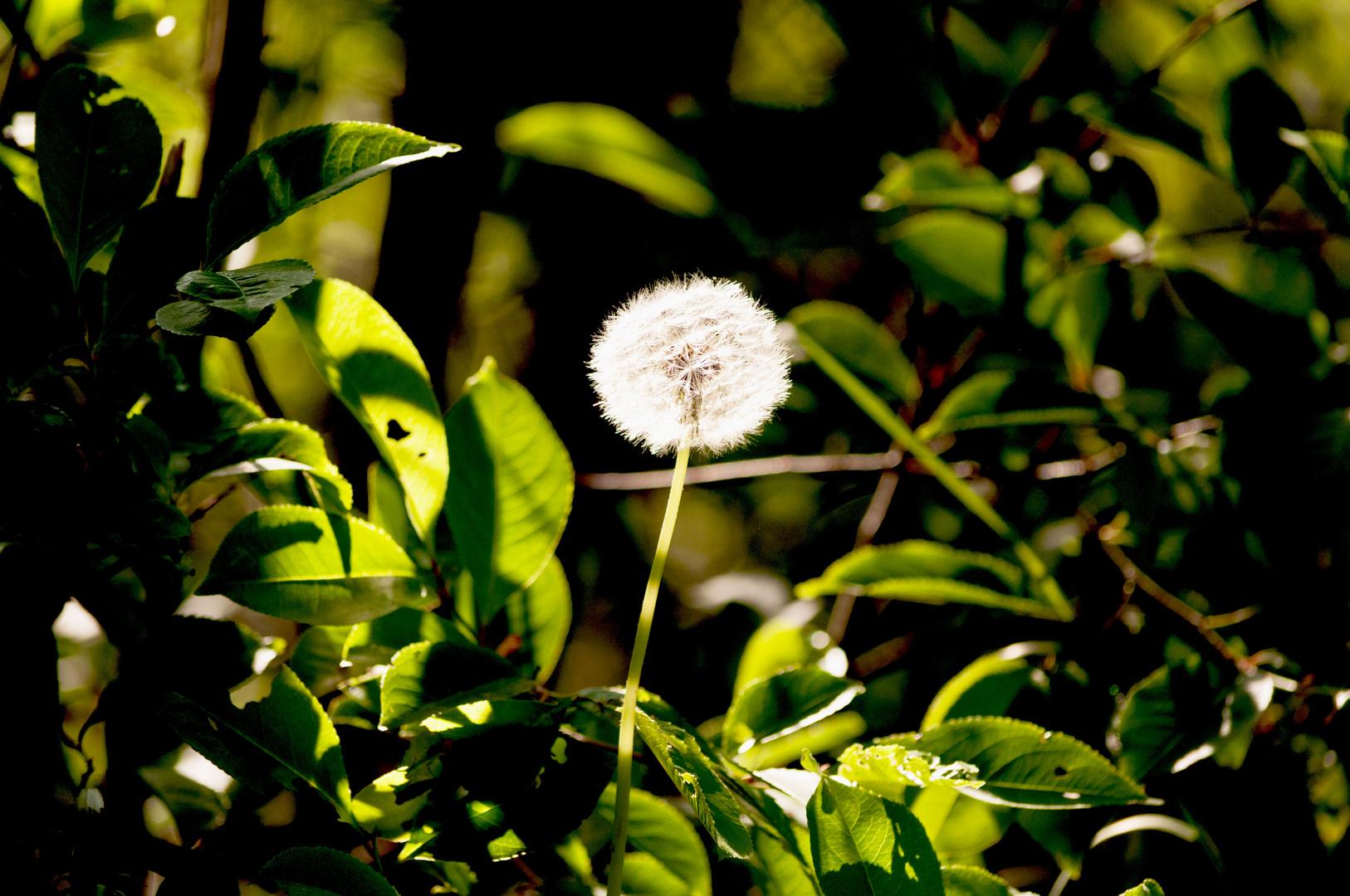 """eine einsame """"Pusteblume"""" von der Sonne angestrahlt!"""