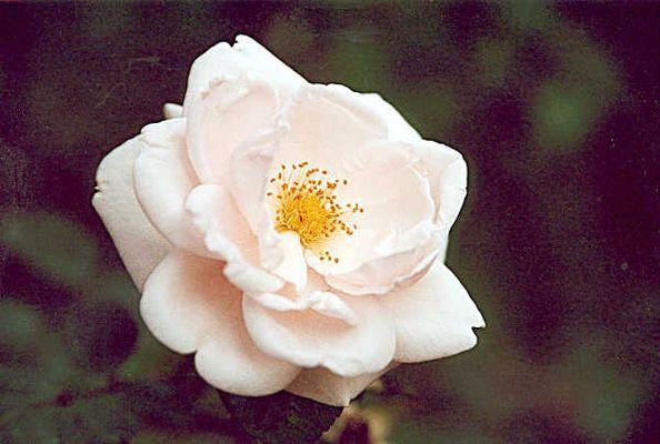Eine einsame Rose
