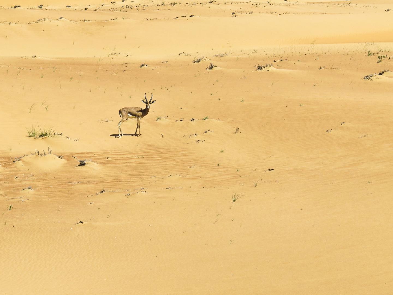 ... eine einsame Sandgazelle in der Wüste von Dubai …