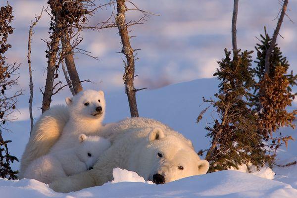 Eine Eisbärfamilie im Wapusk National Park