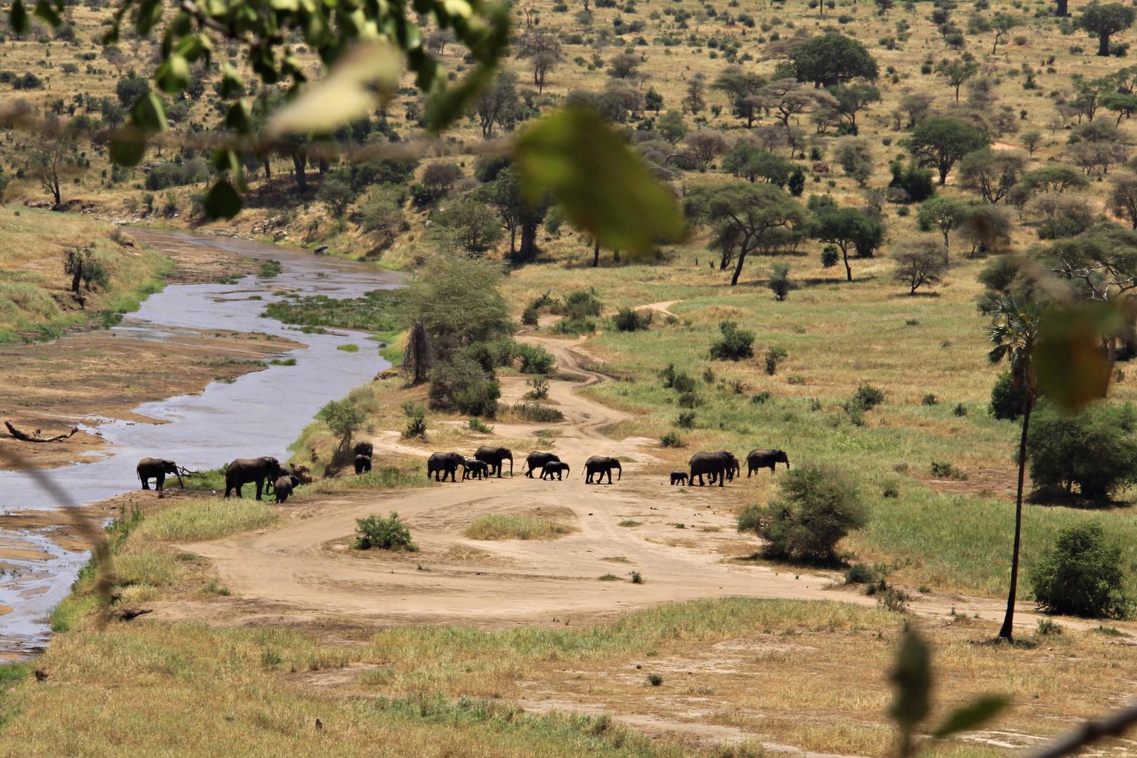 eine Elefantenherde zieht ruhig
