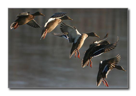 Eine Ente im Landeanflug