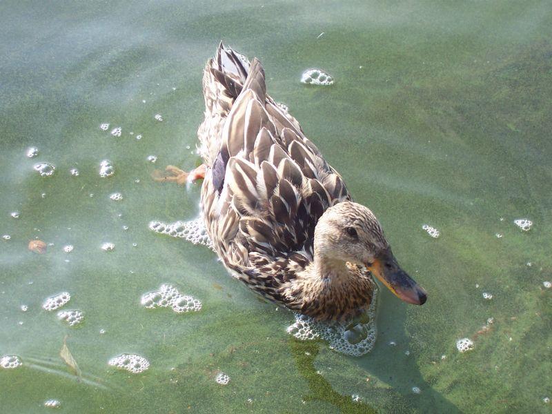 Eine Ente im Titisee