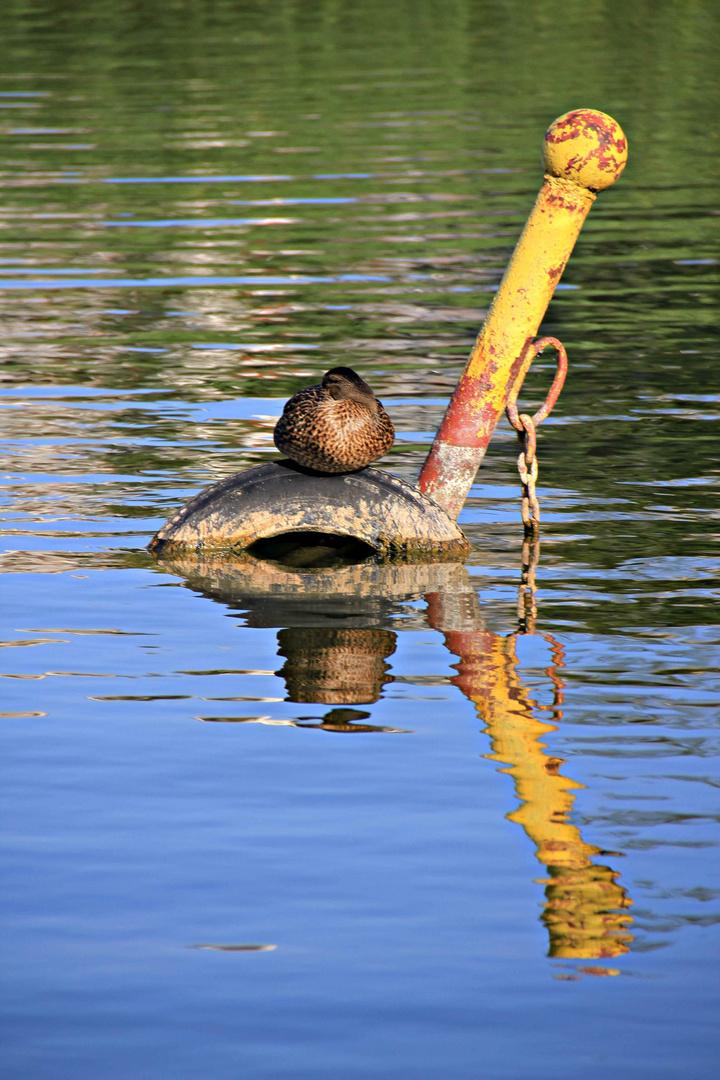 Eine Ente rastet