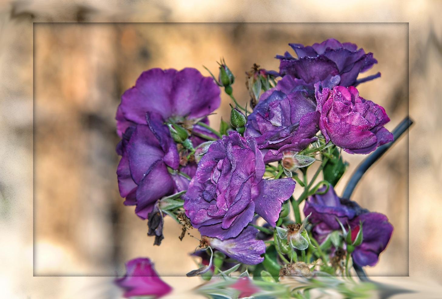 Eine etwas andere Rose