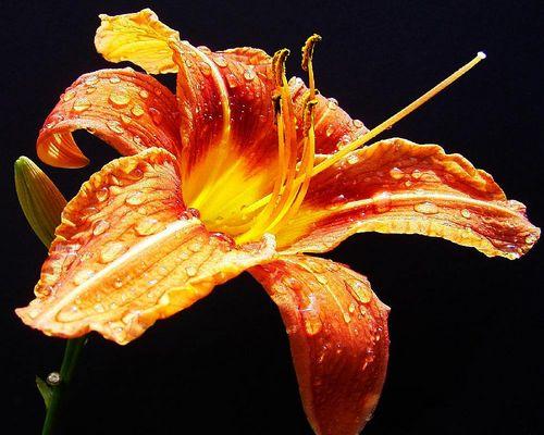 Eine feuchte Lilie