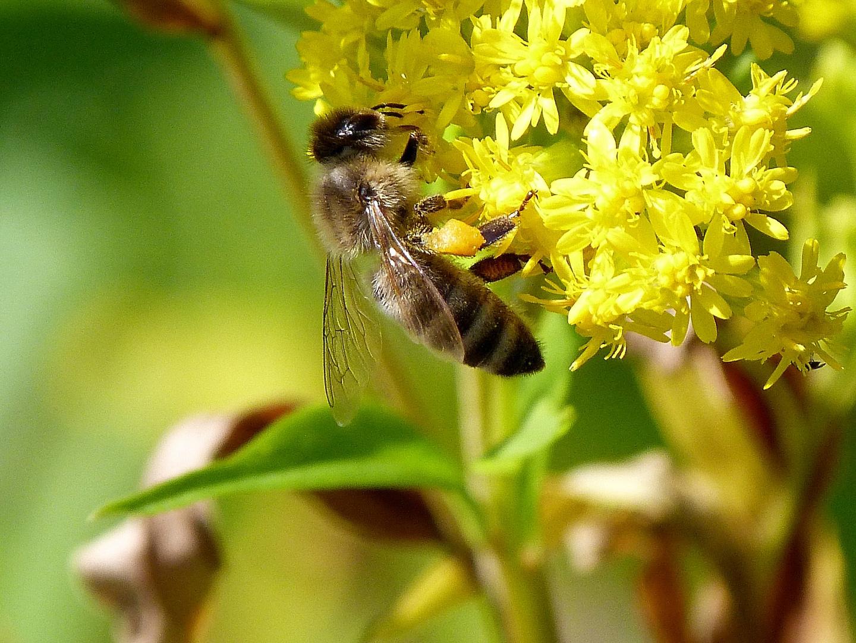 Eine fleißige Biene