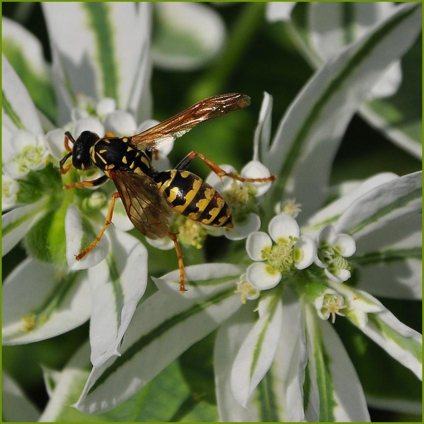 Eine fleißige Wespe.....