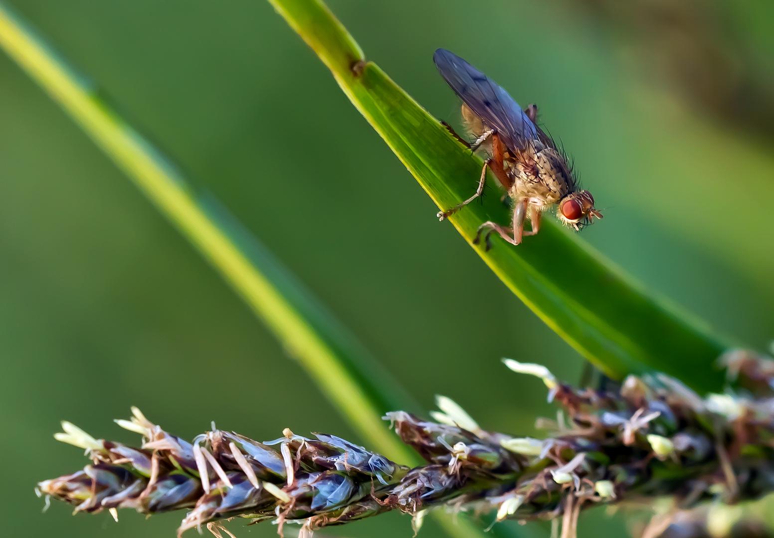 Eine Fliege , aber welche ?