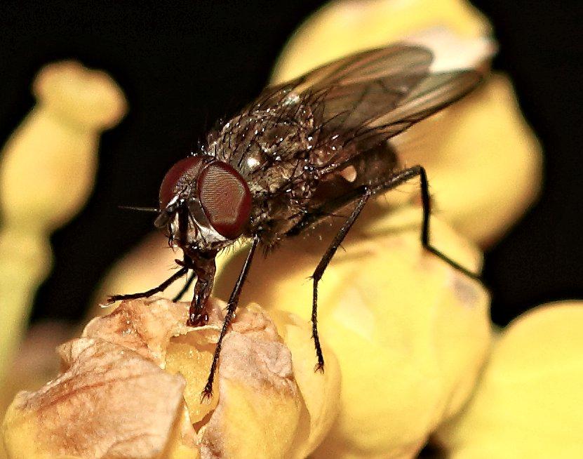 Eine Fliege beim Fressen