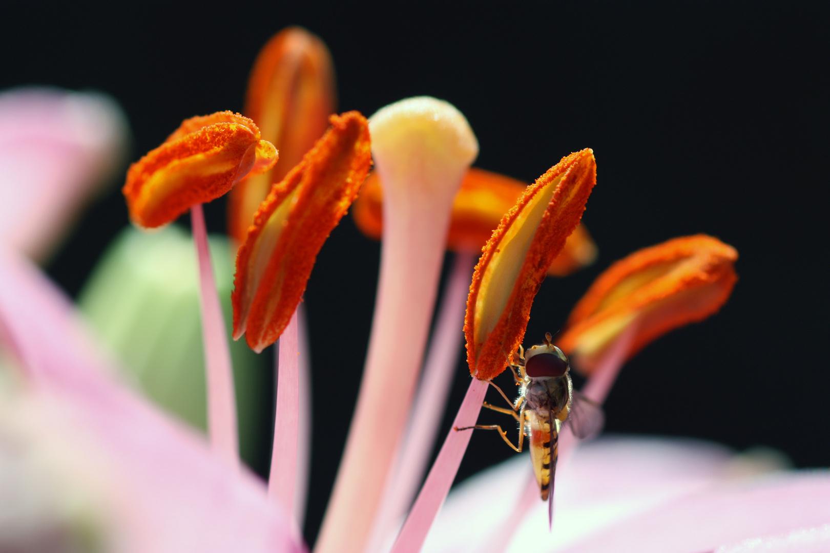 Eine Fliege, die sich als Biene tarnt