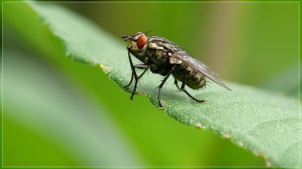 eine Fliege im grünen