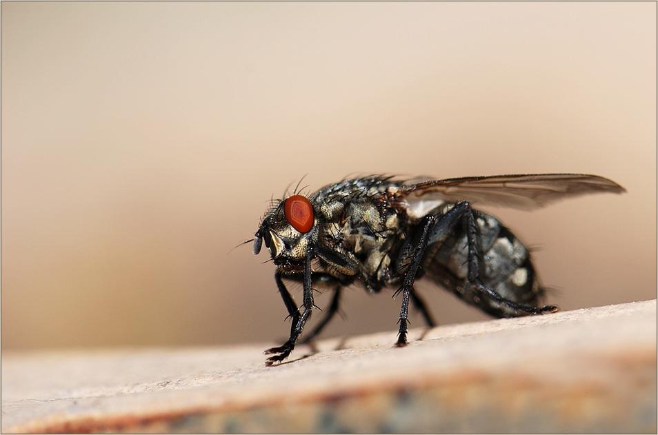 Eine Fliege ist eine Fliege...