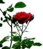 Eine freie rote Rose....