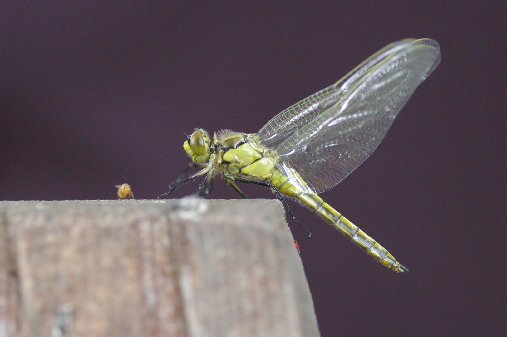 Eine frisch geschlüpfte Libelle kurz vor dem Abflug