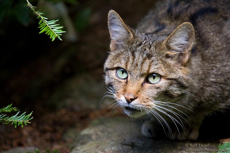 Eine ganz liebe Wildkatze