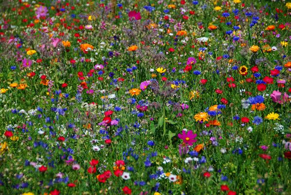 Eine ganze Sommerblumenwiese als Mittwochsblümchengruß