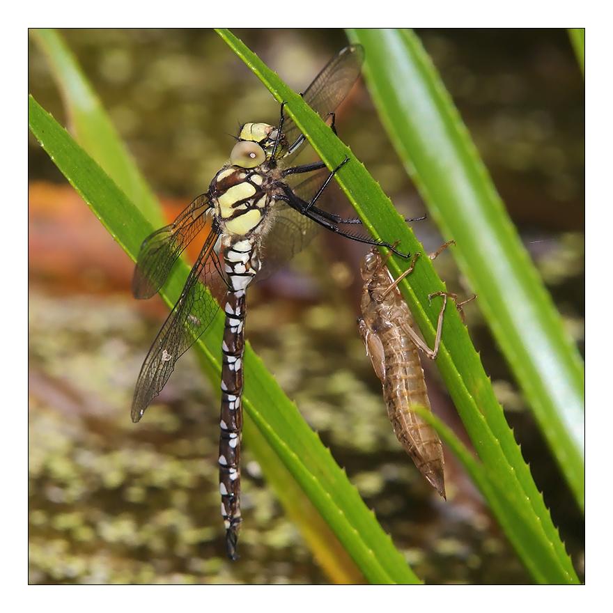 Eine gerade geschlüpfte Libelle...