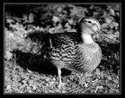 eine gierige, verfressene,fette WGT Ente....
