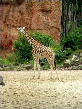 Eine Giraffe aus dem Zoo Hannover