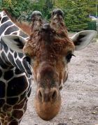 Eine Giraffe im Duisburger Zoo