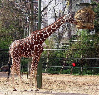 Eine Giraffe mit 2 Köpfen???