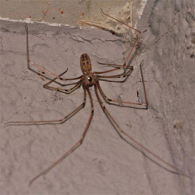 Eine Große Zitterspinne (Pholcus phalangioides), ich denke, ein Weibchen -  . . .