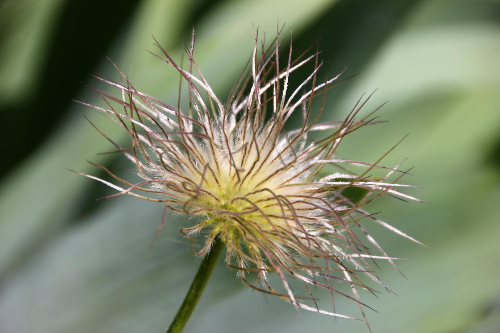 """eine """"haarige"""" Pflanze ;)"""