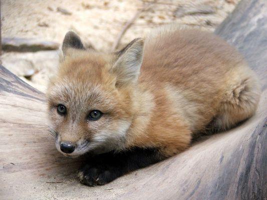 Eine Hand voll Fuchs