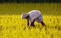 Eine Handvoll Reis