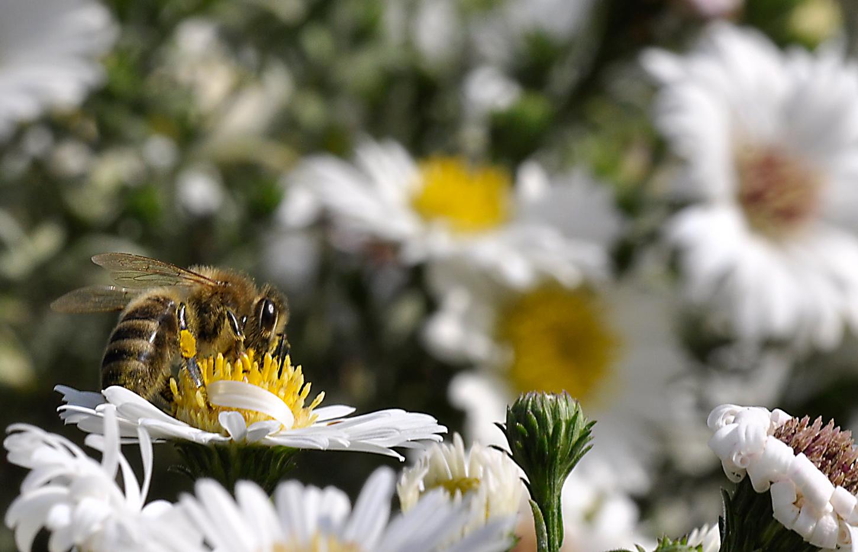 eine (Honig)Biene