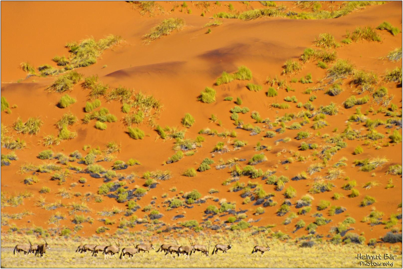 Eine Horde Oryx