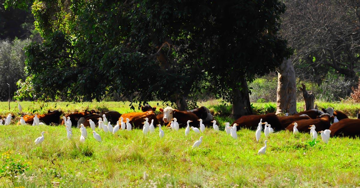 Eine Interessengemeinschaft von Kühen und Kuhreihern