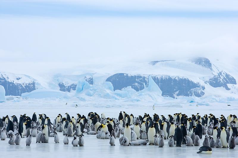 Eine Kaiserpinguinkolonie umfasst mehrere tausend Tiere