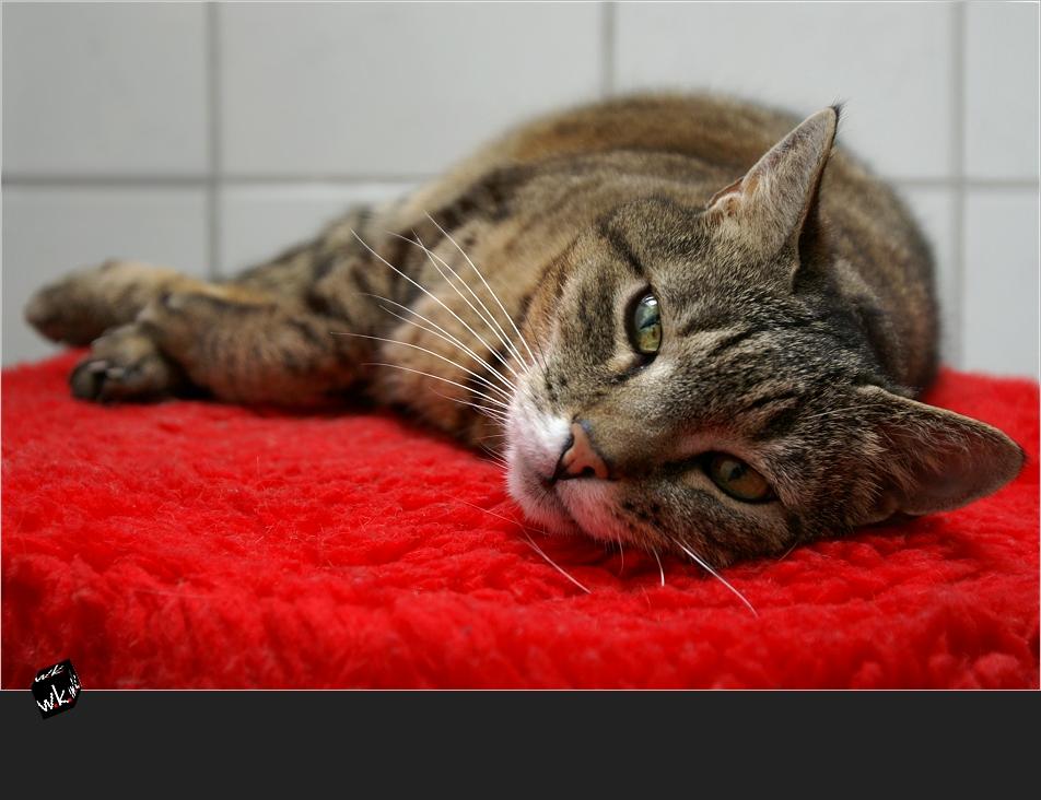 Eine Katze liegt rot ••• Sri Lanka liegt rot!