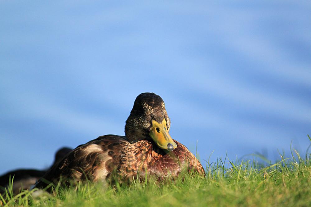 Eine kleine Ente