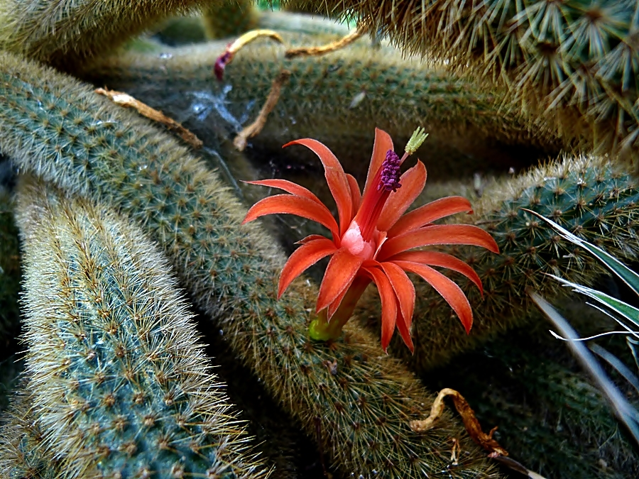 Eine kleine, feine Kaktusblüte . . .