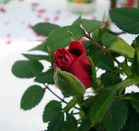 Eine kleine Rose