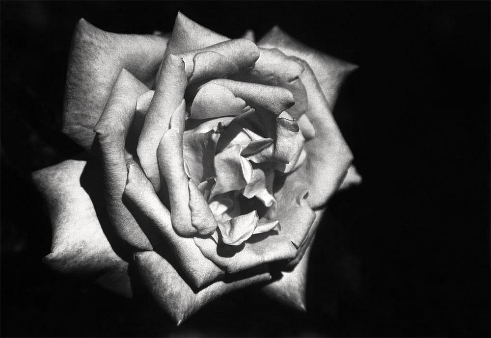 eine kleine rose in schwarz weiss foto bild pflanzen pilze flechten bl ten. Black Bedroom Furniture Sets. Home Design Ideas