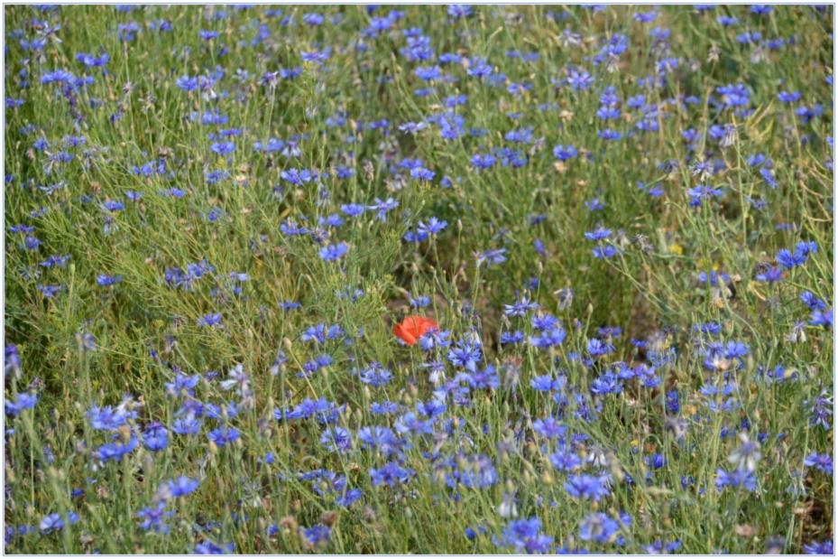 eine kleine rote Blüte leuchet zart...