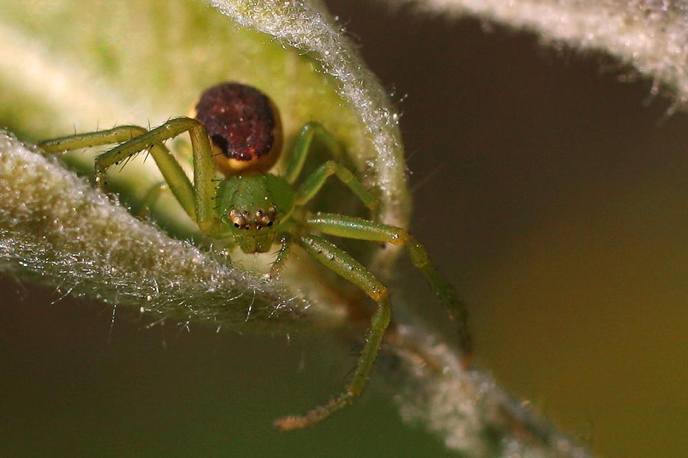 Eine kleine ????-Spinne in Angriffsstellung!