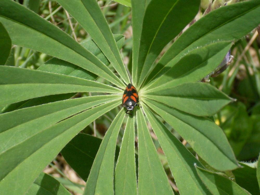 Eine kleine Zikade