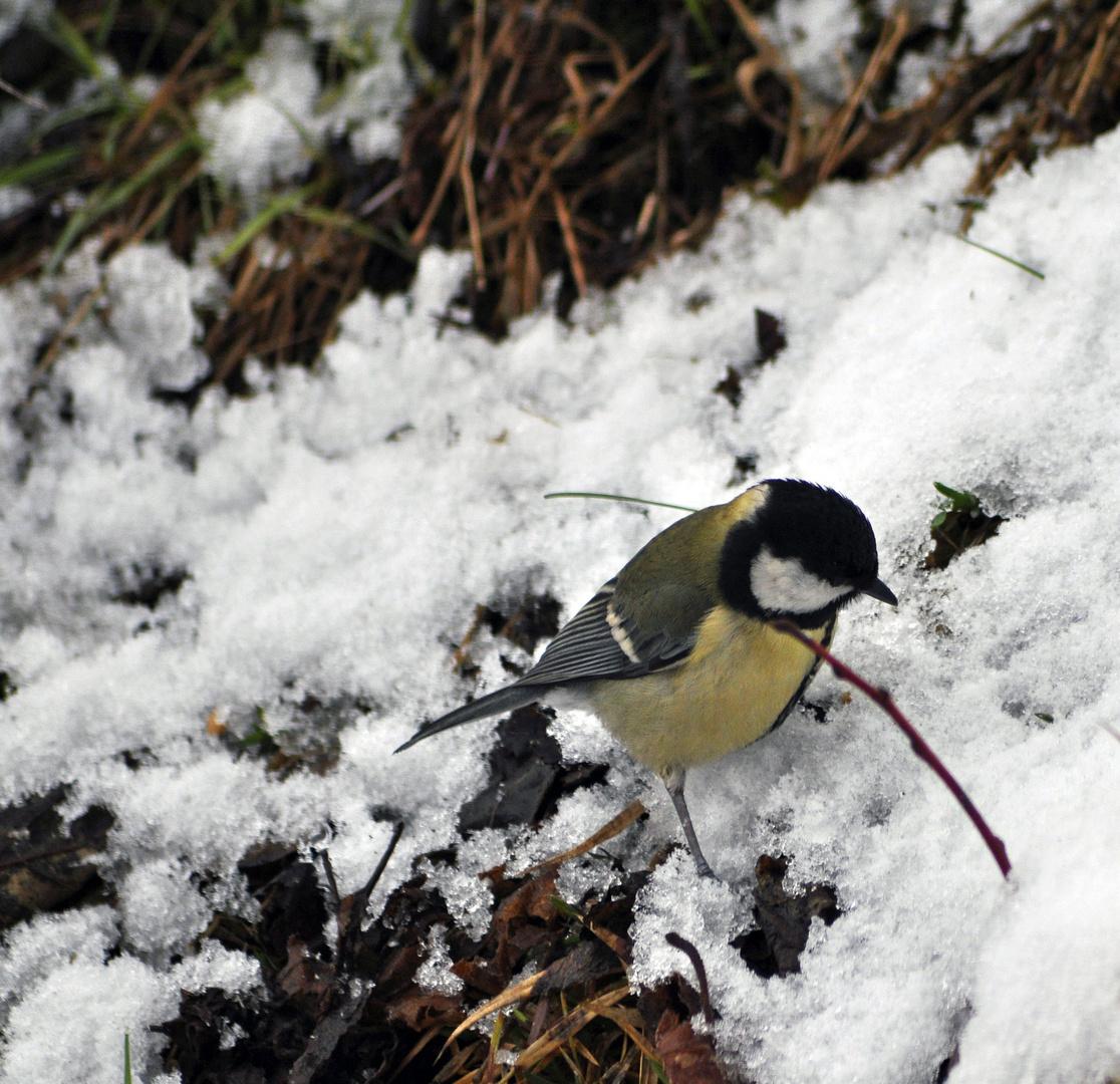 Eine Kohlmeise im Schnee