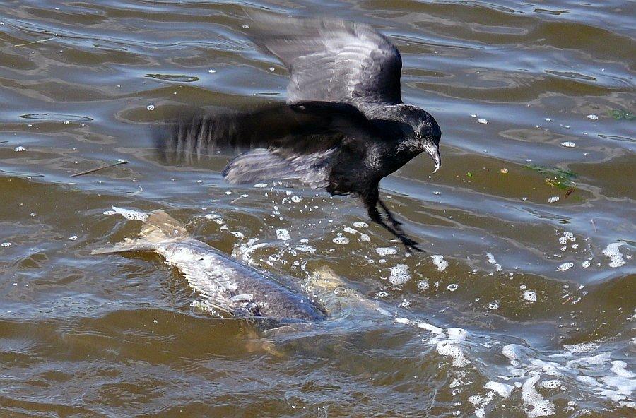 Eine Krähe hackt einer anderen kein Auge aus, aber einem Fisch
