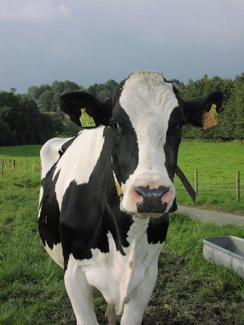 Eine Kuh