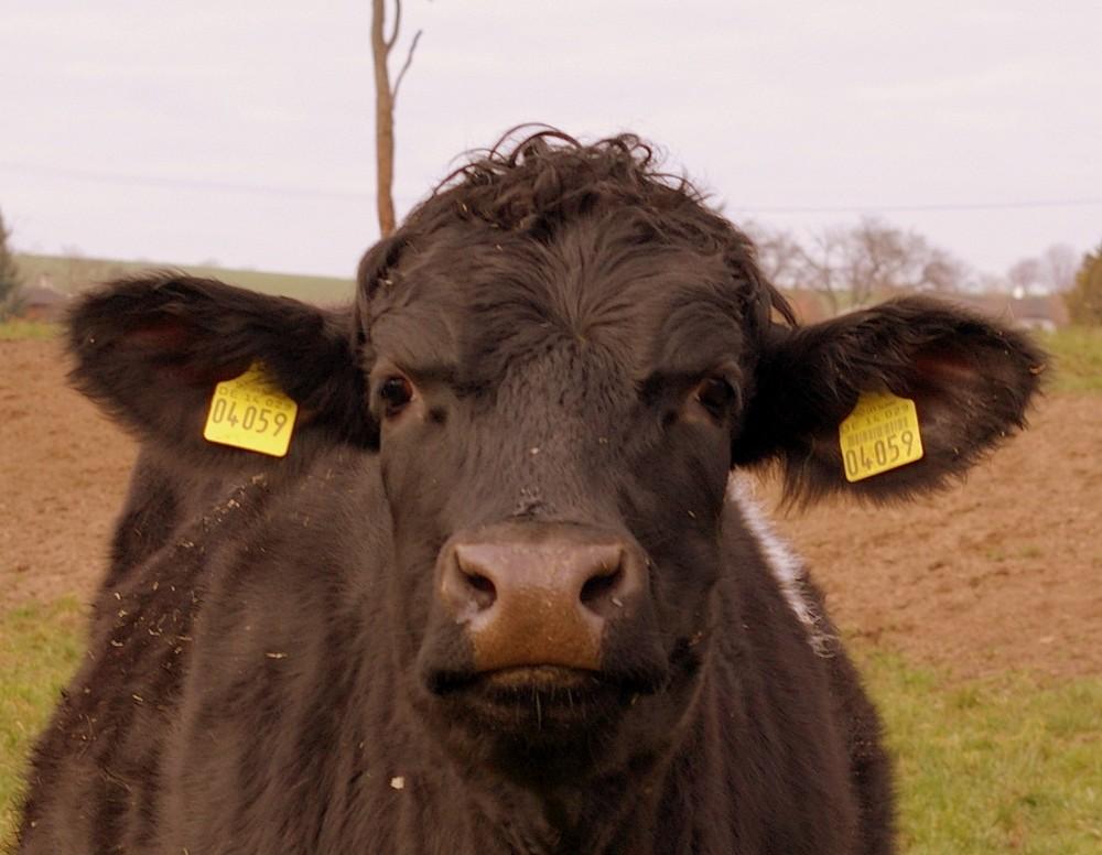 eine Kuh...