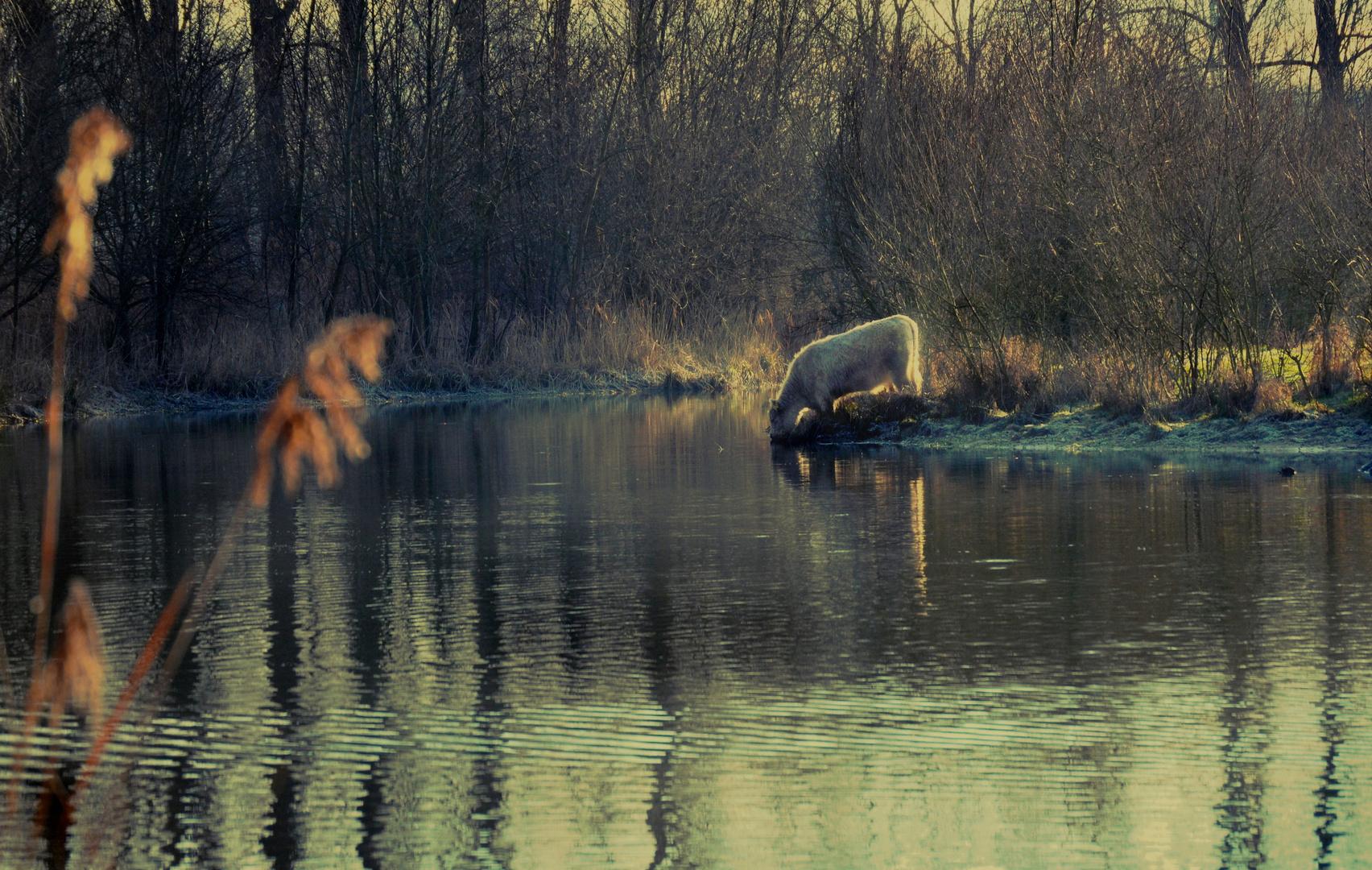 Eine Kuh am See